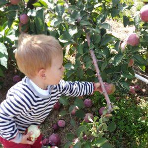 apple picking at hanks pumpkin town